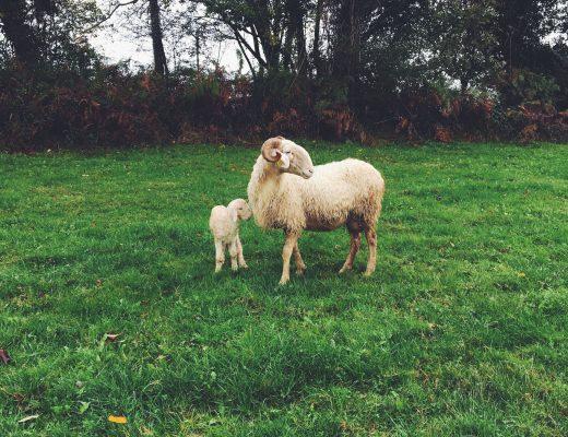 agneau de lait des pyrenees